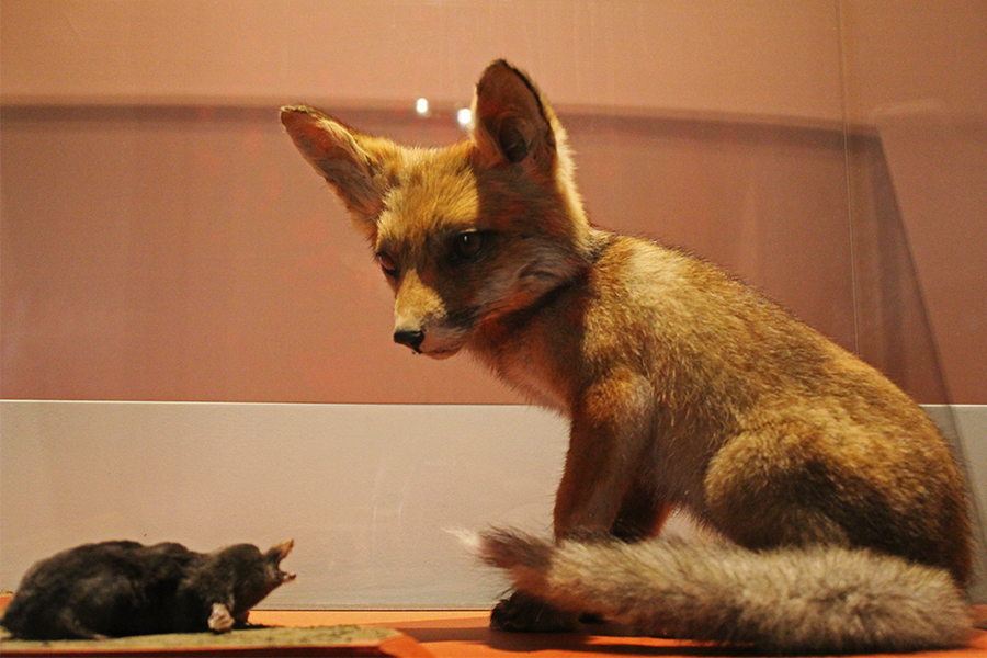 museum natural history fox