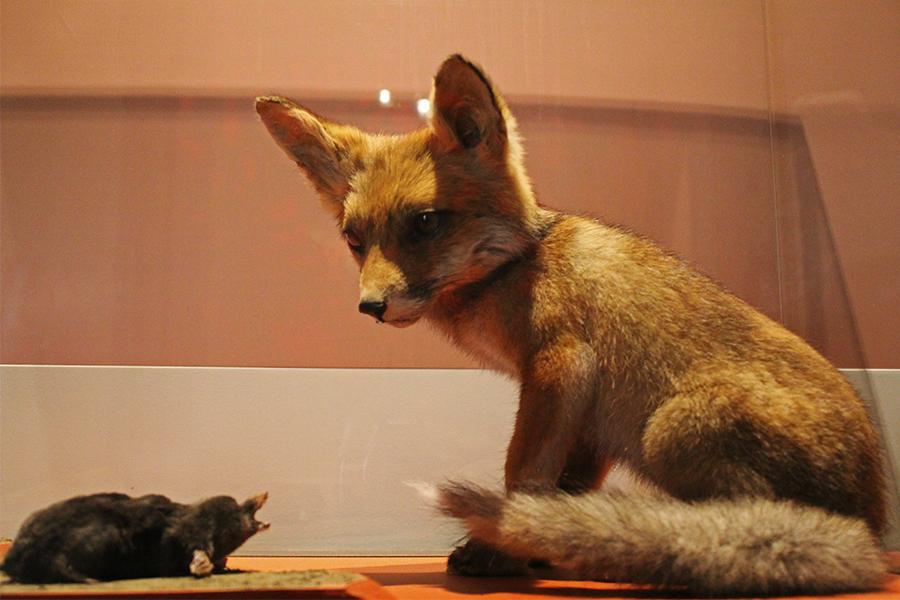 museum natural history fox